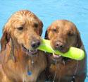 golden retrievers pulling tennis stick