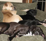 photo of dogs spencer joey and libbey